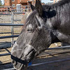 It is with great sadness that the Learning Farm announces the passing of our<br /> beloved farm ambassador 'MAC'.<br /> <br /> Our Percheron draft horse, Mac was brought to Alaska by Jon Nauman, owner of the Horse Drawn Carriage Company, (www. horsedrawncarriagealaska.com) at the age of four or five. <br /> <br /> He worked for Jon, giving carriage rides downtown and sleigh rides through the woods in the winter. At age 17, Mac was sold to a trail riding and sleigh business. At age 27, the new owner of the sleigh business gave Mac to The Learning Farm.<br /> <br />  It was a big commitment to take on an older horse with a huge appetite, but Mac has blessed the farm beyond our wildest dreams.  Mac is an official greeter for The Learning Farm. He has us well trained to give him carrots and treats whenever he comes to the house and looks at us through the window, OR walks up onto the porch and waits at the front door. Yes, Mac has come inside a few times when we weren't quick enough, but thankfully he backs up well. Mac has not only pulled many kids in our little carriage, but has enjoyed being the star of our new vaulting team. Mac has performed with the team at various public events, stepping high, giving no indication of his many years, except the white hair on his face that attempts to expose his age. <br /> <br /> Our beloved Mac has moved onto greener pastures. Words can not express the impact Mac made in our lives during the few short years we were blessed to have him with us. He loved being a farm yard pet and we loved his big gentle personality. Mac was one in a million. <br /> <br /> Thank you Joshua Hale for donating him to the farm. <br /> <br /> Thanks to the McClure family for helping financially with his feed and care. <br /> <br /> Thank you Gillian for the extra tlc you gave Mac.