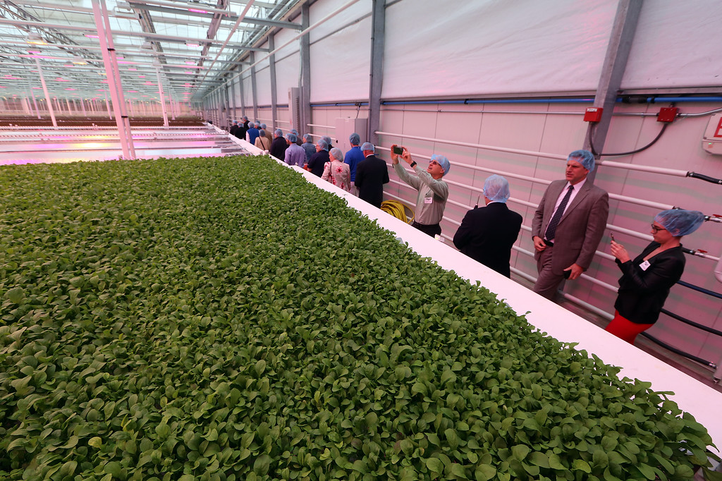. Tour of greenhouse at official opening of expansion of Little Leaf Farms greenhouse, from 2.5 acres to 5 acres, for hydroponic growing of baby lettuce and other greens. (SUN/Julia Malakie)