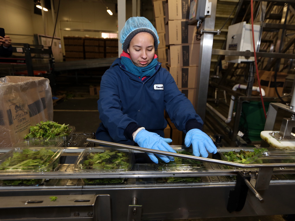 . Official opening of expansion of Little Leaf Farms greenhouse, from 2.5 acres to 5 acres, for hydroponic growing of baby lettuce and other greens.Yenerith Carbajal of Worcester closes containers on the packaging line.  (SUN/Julia Malakie)