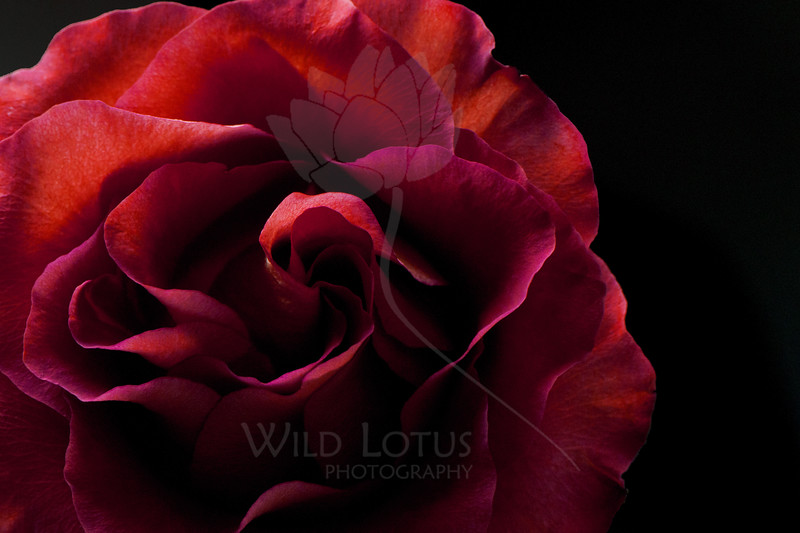 Passion Embodied<br /> <br /> Flower pictured :: Rose<br /> <br /> Flower provided by :: Little Flower Market<br /> <br /> 112512_005545 L ICC sRGB 16x24 pic