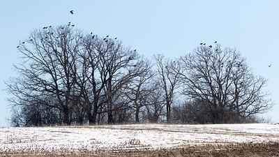 Corvus brachyrhynchos
