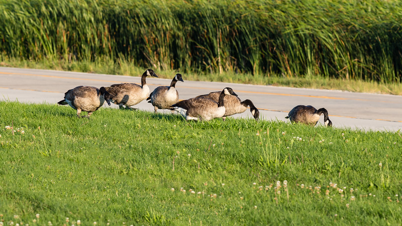 geese strolling along the side of the road