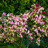 bushes laden with new and old pink flowers