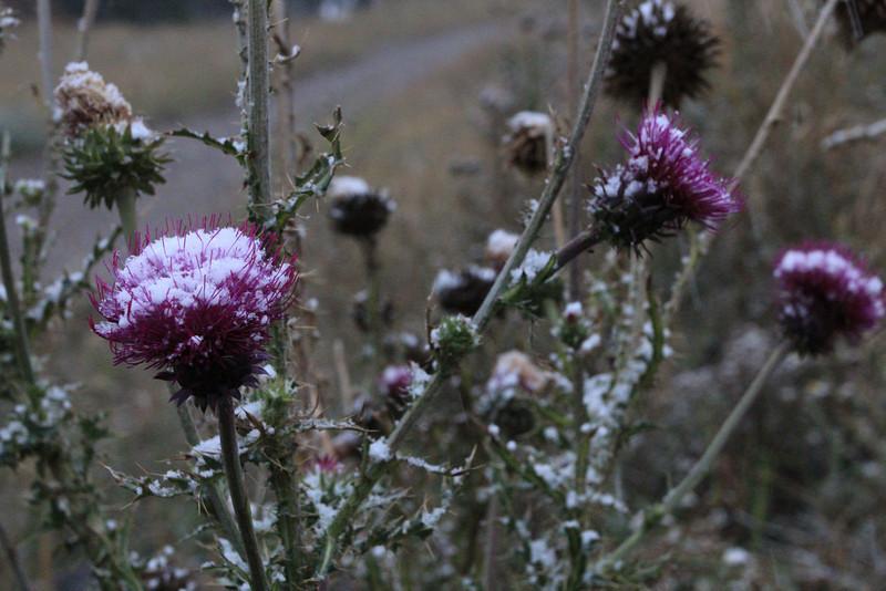 Thistle in new fallen snow
