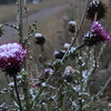 Thistle in new fallen snow