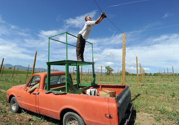 "Kyle DiGiacomo puts up another line for the hops field as Geoff Hess drives the truck.<br /> The site, combined with the brewery and restaurants, make up a triangle of sustainability for the local craft brewer.<br /> For a video of the farm, go to  <a href=""http://www.dailycamera.com"">http://www.dailycamera.com</a>.<br /> Cliff Grassmick / July 8, 2011"