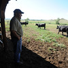 "Geoff Hess watches his cattle walk out to pasture on  Oskar Blues 54-acre farm west of Longmont. The site, combined with the brewery and restaurants, make up a triangle of sustainability for the local craft brewer.<br /> For a video of the farm, go to  <a href=""http://www.dailycamera.com"">http://www.dailycamera.com</a>.<br /> Cliff Grassmick / July 8, 2011"