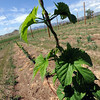 "A hops vine has grown over 5-feet on the farm.<br /> The site, combined with the brewery and restaurants, make up a triangle of sustainability for the local craft brewer.<br /> For a video of the farm, go to  <a href=""http://www.dailycamera.com"">http://www.dailycamera.com</a>.<br /> Cliff Grassmick / July 8, 2011"