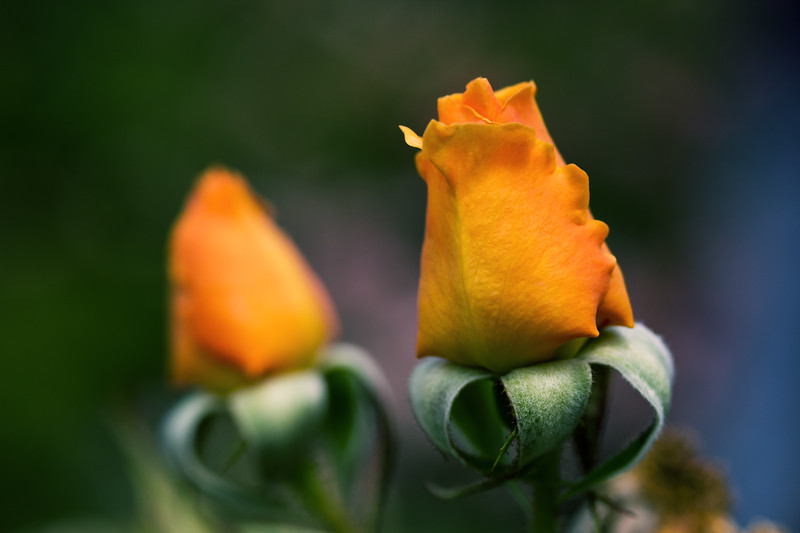 Two orange roses
