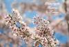 ADVERTISEMENT - Cherry Blossom 1