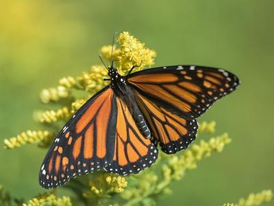 044 Monarch