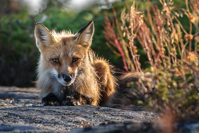 083 Fox 1