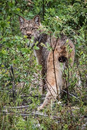 028 Looking Lynx