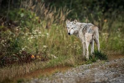 090 Wary Wolf