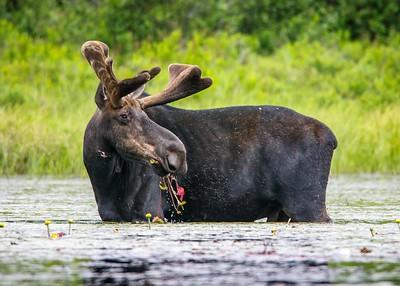 038 Moose 3