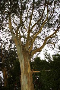 Pioneer Park Tree
