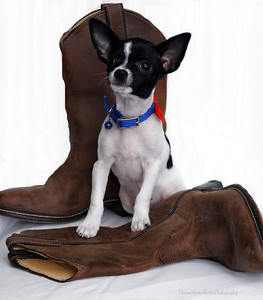 Chihuahua boots