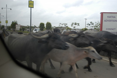 More cows on the street in India.
