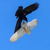 Barn Owl vs. Raven I