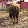 Dolly the Bison