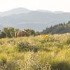 Mule deer browsing in meadow behind Sun Mountain Lodge, 6:30 AM on Sunday, May 11, 2014