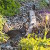 Sage grouse in garden at Sun Mountain Lodge, Winthrop, WA