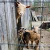 Goats hang out in the barn at Hames & Axle Farm in Ashburnham. SENTINEL & ENTERPRISE/ Ashley Green