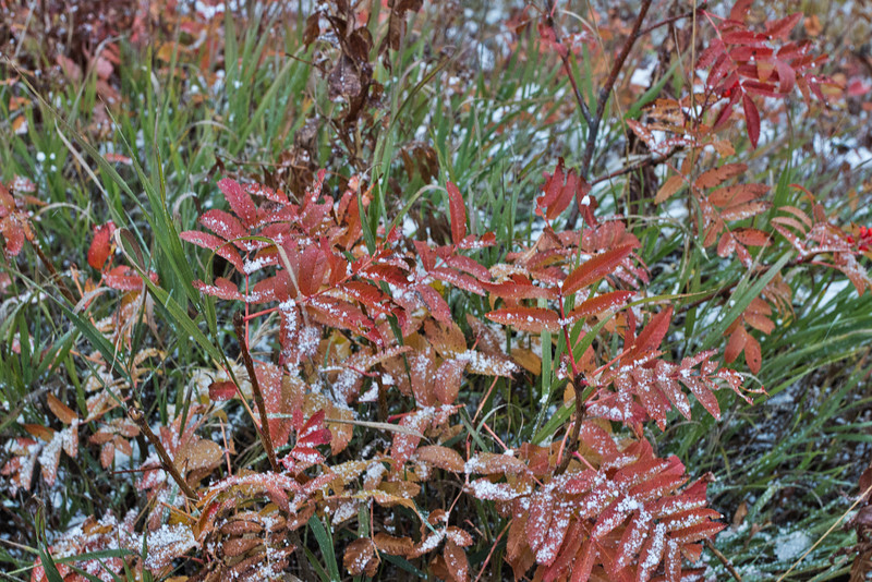 New fallen snow on sumac along jeep trail to top of Snow King Mountain