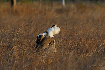 Australian Bustard Displaying and Roaring
