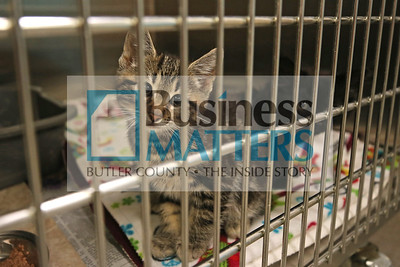 Kittens 'Clover' and 'Winston' peek through cage bars in the Butler County Humane Society's animal intake examination room Friday. Seb Foltz/Butler Eagle 06/26/20
