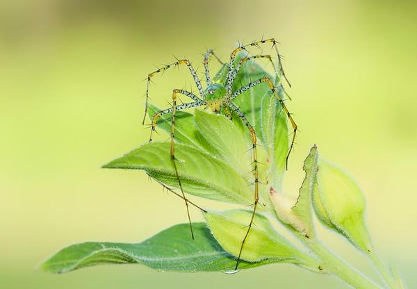 Lynx Spider-Peucetia viridans