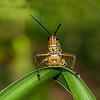 Southeastern Lubber Grasshopper