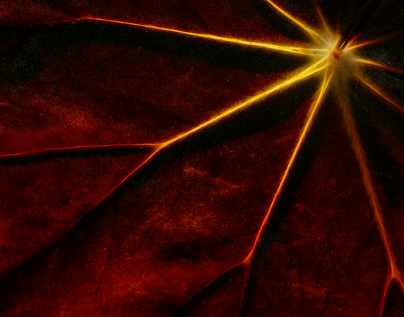 Sunlight through Red leaf
