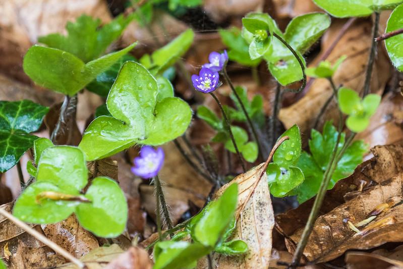 Common Hepatica - Blå Anemone