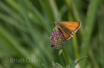 Small Skipper 3