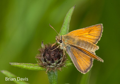 Small Skipper 1