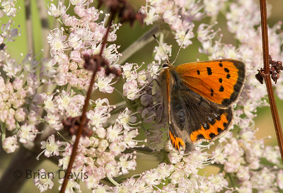 Small Copper 6