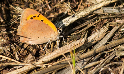 Small Copper 4