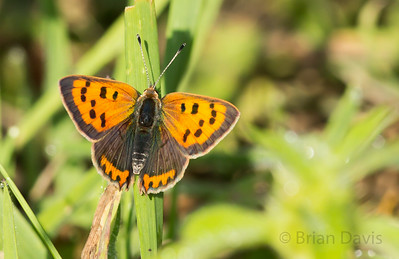 Small Copper 5