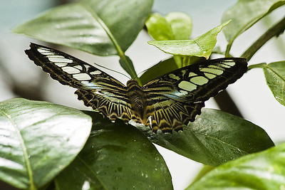 Clipper -Parthenos sylvia lilacinus India