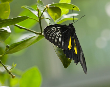 Common Birdwing -Troides Helena India