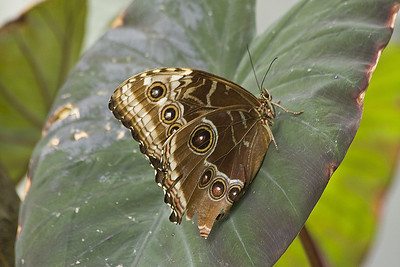 Grey Pansy -Junonia atlites India