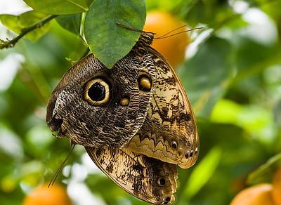 Peacock Pansy -Junonia almana India