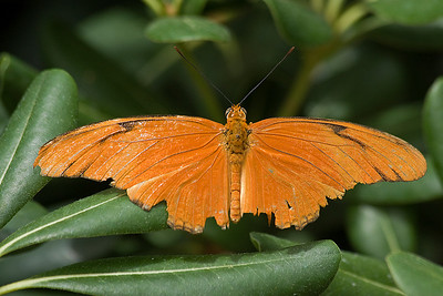 Julia -Dryas iulia North, Central & South America