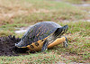 RED BELLIED TURTLE<br /> <br /> Turtle is covering up eggs that she just laid....<br /> <br /> Viera Wetlands, Viera Florida
