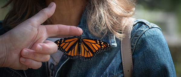 Monarch Butterfly Release