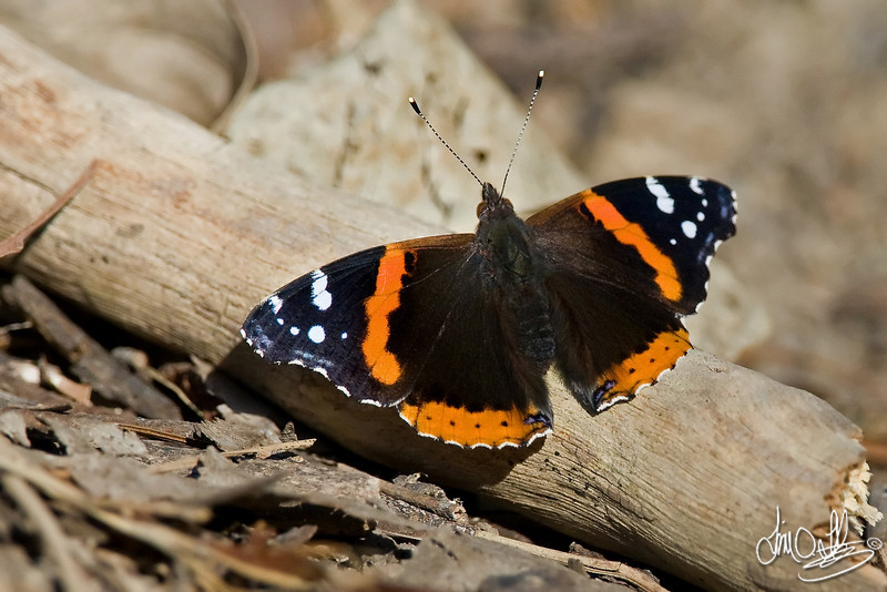 Red Admiral Butterfly<br /> Huntington Beach, CA