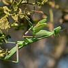 Arizona Praying Mantis