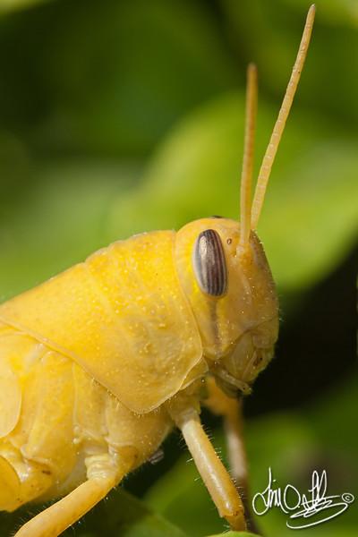 Gray Bird Grasshopper nymph
