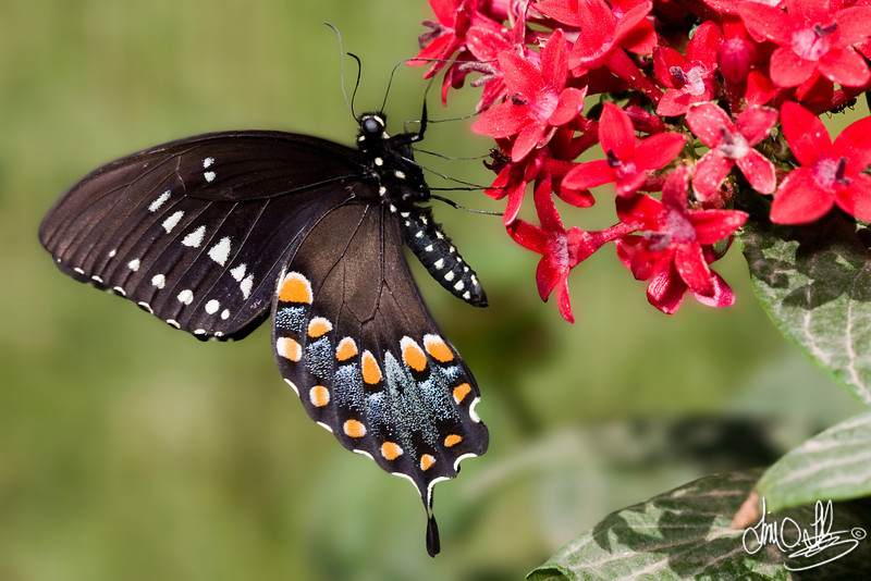 Pipevine Swallowtail<br /> Shot at the Museum of Natural History in Los Angeles